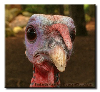 funny-photo-of-a-turkey